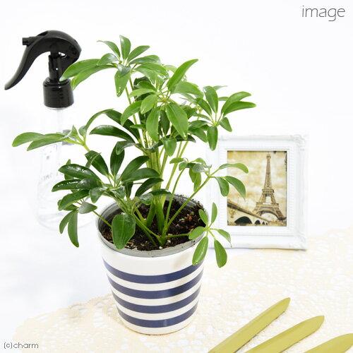 (観葉植物)シェフレラ ホンコン 3号(1ポット)