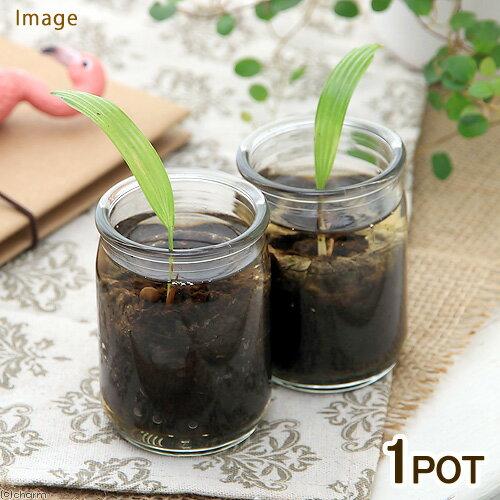 (観葉植物)ヤシ マングローブウチワヤシ ガラス容器入り 1.5号(1鉢)