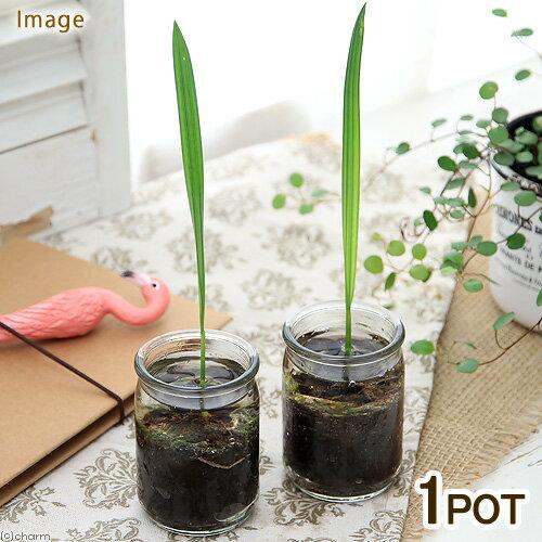 (観葉植物)ヤシ マングローブナツメヤシ ガラス容器入り 1.5号(1鉢)