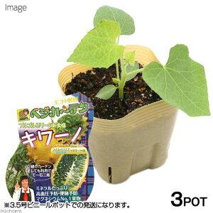 (観葉植物)野菜苗 キワーノ 3号(3ポット) 家庭菜園 緑のカーテン