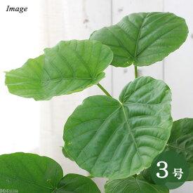 (観葉植物)フィカス ウンベラータ 3号(1ポット)【HLS_DU】