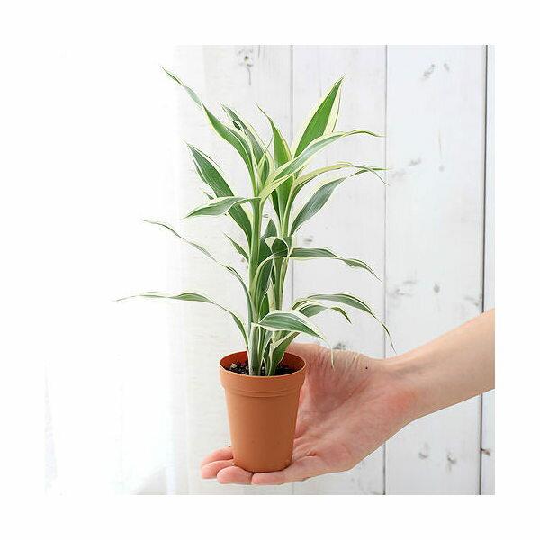 (観葉植物)ドラセナ サンデリアーナ ホワイト 2号ロング(1鉢)
