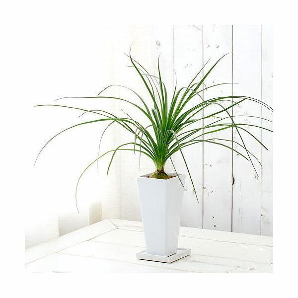 (観葉植物)トックリラン 陶器鉢植え タワーS WH(1鉢) 受け皿付き 北海道冬期発送不可