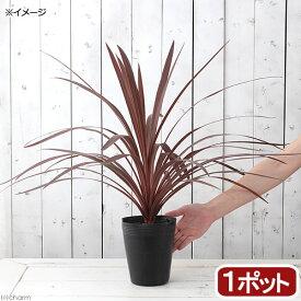 (観葉植物)コルディリネ レッドスター 5号(1ポット) 北海道冬季発送不可