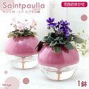 (観葉植物)セントポーリア 花色おまかせ カプセル鉢(1鉢)