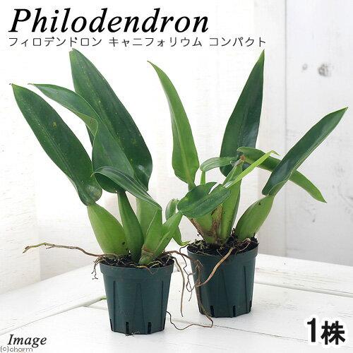(観葉植物)フィロデンドロン キャニフォリウム コンパクト(1株)