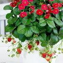 (観葉植物)サントリー 野菜苗 イチゴ ローズベリーレッド 3号(1ポット) 家庭菜園