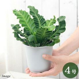 (観葉植物)シダ アスプレニウム アビス コブラ 4号(1鉢) 北海道冬季発送不可