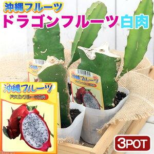 (観葉植物)果樹苗 沖縄 ドラゴンフルーツ 白肉 3.5号(3ポット) 家庭菜園