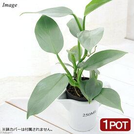 (観葉植物)ハイドロ苗9φ・Lサイズ フィロデンドロン シルバーメタル(1ポット)