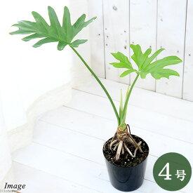 (観葉植物)フィロデンドロン セローム 根上り 4号(1鉢)