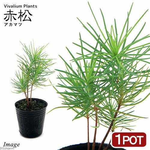 (観葉植物)ビバリウムプランツ アカマツ(赤松) 3cmポット入り(1ポット)