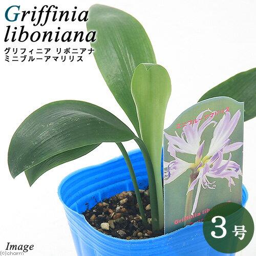 (観葉植物)グリフィニア リボニアナ シュプリーム(ミニブルーアマリリス) 3号(1ポット)