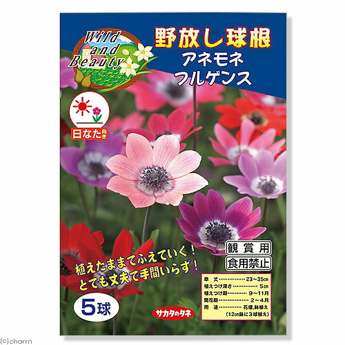 (観葉植物)野放し球根 アネモネ フルゲンス 5球詰(1袋)【HLS_DU】