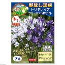 (観葉植物)野放し球根 トリテレイア ブルーアンドホワイト 7球詰(1袋)