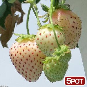 (観葉植物)サントリー 野菜苗 イチゴ 白蜜香 3号(5ポット) 家庭菜園