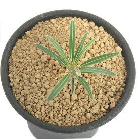 (観葉植物)パキポディウム グラキリス Sサイズ 実生苗 2.5号(1ポット)コーデックス【HLS_DU】