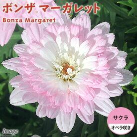 (観葉植物)サントリー ボンザマーガレット オペラ咲き サクラ 3.5号(1ポット)
