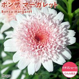(観葉植物)サントリー ボンザマーガレット ウルル咲き イチゴショート 3.5号(1ポット)
