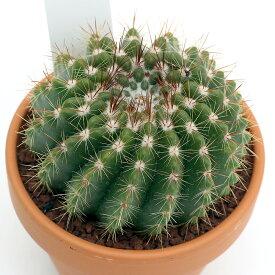 (観葉植物)素焼鉢 サボテン ノトカクタス ヘルテリー 3号(1鉢)【HLS_DU】
