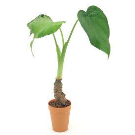 (観葉植物)アロカシア ククラタ シマクワズイモ 2号ロング(1鉢)