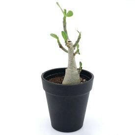 (観葉植物)アデニウム オブスム 3〜3.5号(1鉢) コーデックス