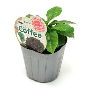 (観葉植物)コーヒーの木 アラビカ矮性種 3号(1ポット) 家庭菜園