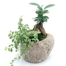 (観葉植物)苔盆栽 ガジュマル&プミラ 抗火石鉢植え Mサイズ(1鉢)