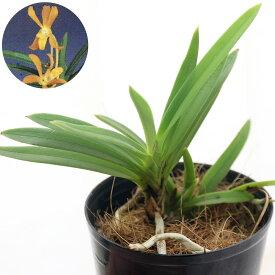 (観葉植物)洋ラン バンダコスティリス イエロードラゴン 2.5〜3号(1ポット)