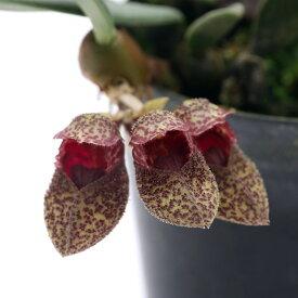 (観葉植物)洋ラン バルボフィラム フロスティ 2.5〜3号(1ポット)