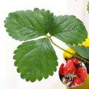(観葉植物)野菜苗 イチゴ 宝交早生 3号(1ポット) 家庭菜園 いちご苗【HLS_DU】