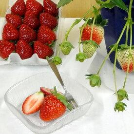 (観葉植物)野菜苗 イチゴ おいCベリー 3号(1ポット) PVP いちご苗 家庭菜園