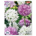 (観葉植物)アリウム球根 パープル&ホワイト 3球詰(1袋)