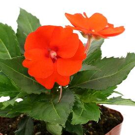 (観葉植物)サンパチェンス パッションオレンジ 3.5号(1ポット)