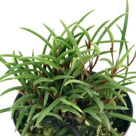 (観葉植物)洋ラン セラトスティリス フィリピネンシス 2.5〜3号(1ポット)