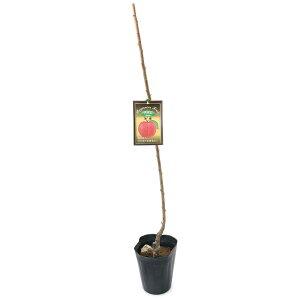 (観葉植物)果樹苗 プラム 秋姫 5号(1鉢)家庭菜園