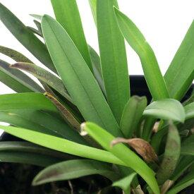 (観葉植物)洋ラン ドリアデラ エドワルディ 2.5〜3号(1ポット) 北海道冬季発送不可