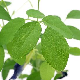 (観葉植物)神秘のハーブ クリトリア バタフライピー 3.5号(1ポット)