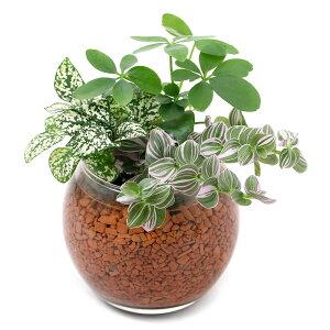 (観葉植物)ハイドロカルチャー ミニ観葉3種の寄せ植え バブルボール SS(1個)