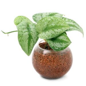 (観葉植物)ハイドロカルチャー 〜おまかせ観葉1種植え〜 フローラボールS(1個)