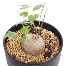 (観葉植物)ディオスコレア エレファンティぺス 3号 Lサイズ(1鉢) 沖縄別途送料 北海道冬季発送不可