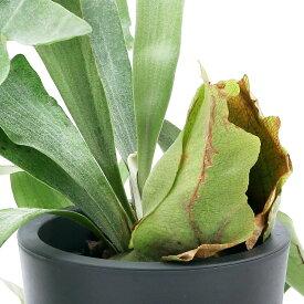 (観葉植物)コウモリラン sp. Lサイズ 6号(1鉢)