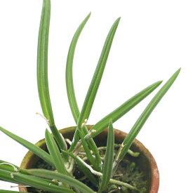 (観葉植物)洋ラン レプトテス スプリングカラー 2号(1鉢)