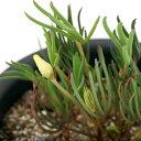 (観葉植物)オキザリス ナマクエンシス 4号(1鉢) 北海道冬季発送不可