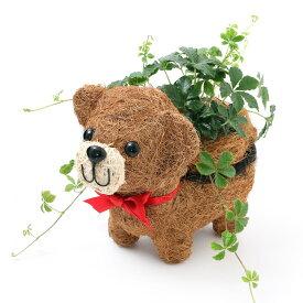(観葉植物)パーセノシッサス シュガーバイン ガーデンベイビィベア(1セット) PVP