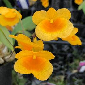 (観葉植物)洋ラン デンドロビウム アグレガタム ウェンツェン 2.5〜3号(1ポット)