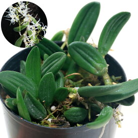 (観葉植物)洋ラン デンドロビウム リングイフォルメ(1株)