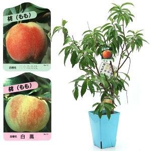 (観葉植物)果樹苗 ハイブリッドプランツ モモ(川中島白桃&白鳳) 7号(1鉢) 家庭菜園