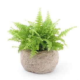 (観葉植物)苔盆栽 ネフロレピス ツデー 抗火石鉢植え Mサイズ(1鉢)