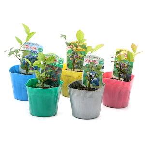 (観葉植物)果樹苗 ブルーベリー(ラビットアイ系) 3号(1ポット) 家庭菜園